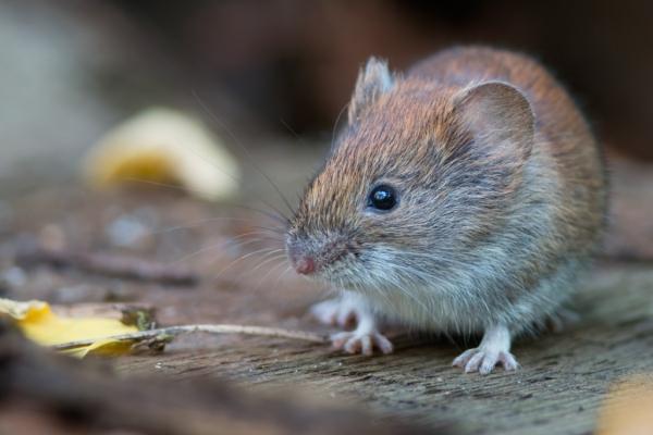 Waldschäden Durch Mäuse Stmelf