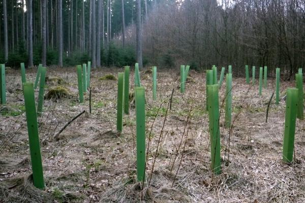 junge buchen bäume zum pflanzen